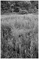 Tall grasses in meadow, Minute Man National Historical Park. Massachussets, USA ( black and white)