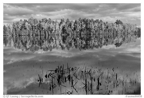 Reeds and trees in fall color reflected in mirror-like water, Greenville Junction. Maine, USA (black and white)