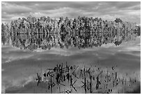 Reeds and trees in fall color reflected in mirror-like water, Greenville Junction. Maine, USA ( black and white)