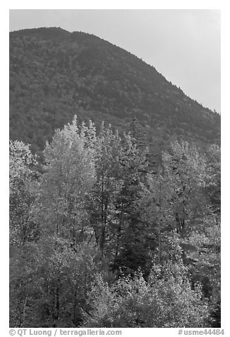 Trees below Elephant Mountain. Maine, USA (black and white)