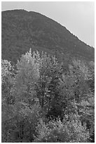 Trees below Elephant Mountain. Maine, USA ( black and white)