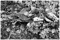 Autumn leaves and cluster of mangled aluminum from B-52 crash. Maine, USA ( black and white)