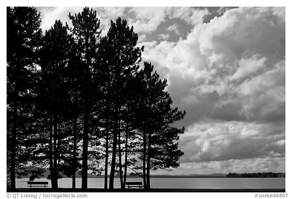 Black And White Picture Photo Conifers Silhouette And