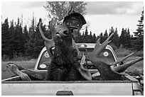 Moose with kill tag in back of truck being lifted, Kokadjo. Maine, USA ( black and white)