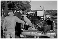 Hunters preparing to weight taken moose. Maine, USA (black and white)