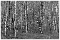 Dense forest of dead standing trees. Maine, USA ( black and white)