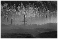 Tree skeletons, forest in fall foliage, and fog. Maine, USA ( black and white)