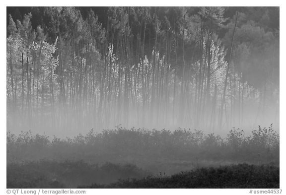 Earning morning fog and forest in autumn. Maine, USA (black and white)