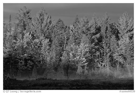 Forest with low layer of fog, morning autumn. Maine, USA (black and white)