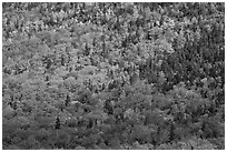 Evergreens and deciduous trees mixed on mountain slope in autumn. Baxter State Park, Maine, USA (black and white)