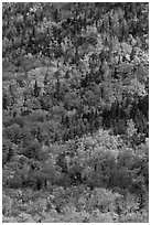Mix of evergreens and trees in autumn foliage on slope. Baxter State Park, Maine, USA (black and white)
