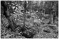 Forest and undergrowth in autumn. Baxter State Park, Maine, USA ( black and white)