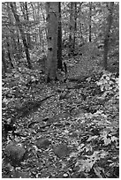 Trail in autumn forest. Baxter State Park, Maine, USA (black and white)