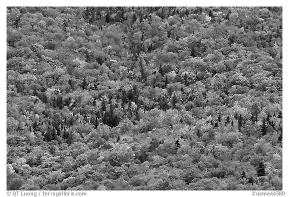 Tree canopy in the fall seen from above. Baxter State Park, Maine, USA (black and white)