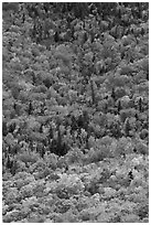Aerial view of deciduous trees in fall foliage mixed with evergreen. Baxter State Park, Maine, USA (black and white)