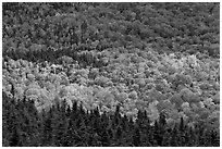 Ridge of conifers and deciduous trees with spotlight. Baxter State Park, Maine, USA (black and white)