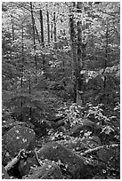 Forest with boulders, evergreen, and trees in autumn color. Baxter State Park, Maine, USA ( black and white)