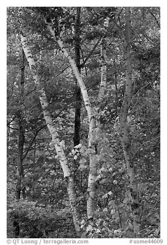 Curving tree trunks and fall foliage. Maine, USA (black and white)
