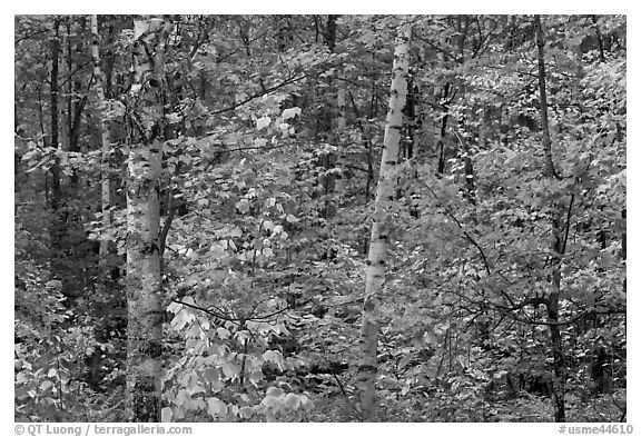 Autumn forest scene. Maine, USA (black and white)
