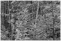 Autumn forest scene. Maine, USA ( black and white)