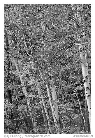 Birch trees in autumn. Baxter State Park, Maine, USA (black and white)
