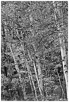 Birch trees in autumn. Baxter State Park, Maine, USA ( black and white)