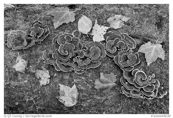 Mushrooms, fallen leaves, and moss. Allagash Wilderness Waterway, Maine, USA (black and white)