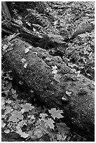 Moss-covered log in the fall. Allagash Wilderness Waterway, Maine, USA ( black and white)
