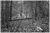 Abandonned railroad tracks in forest. Allagash Wilderness Waterway, Maine, USA (black and white)