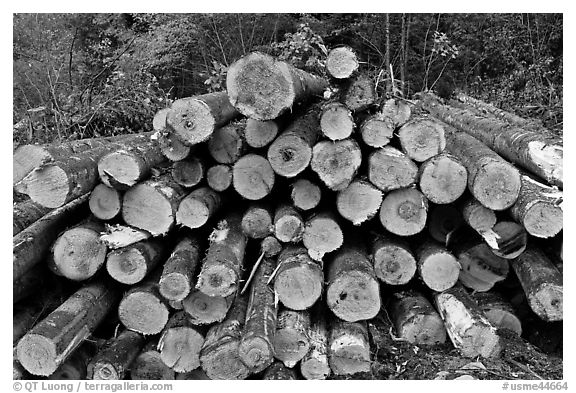 Cut tree trunks. Maine, USA