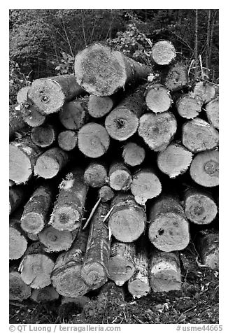 Felled tree trunks. Maine, USA (black and white)