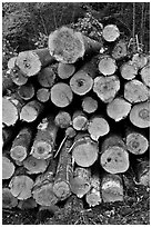 Felled tree trunks. Maine, USA ( black and white)