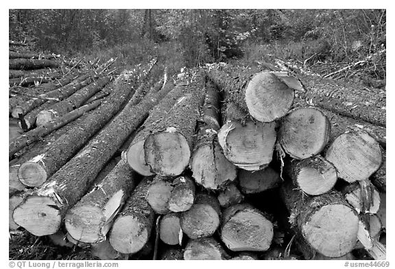 Harvested trees. Maine, USA (black and white)