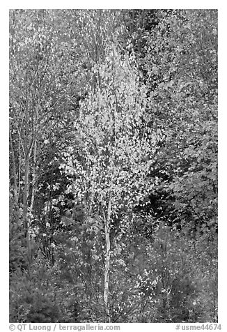 Young trees in fall foliage. Maine, USA (black and white)
