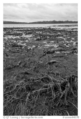 Dead trees and grasses on shores of Round Pond. Allagash Wilderness Waterway, Maine, USA (black and white)