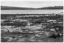 Dead trees and stumps, Round Pond. Allagash Wilderness Waterway, Maine, USA ( black and white)