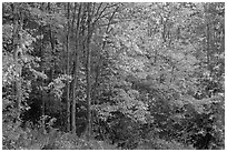 North woods trees with dark trunks in autumn foliage. Allagash Wilderness Waterway, Maine, USA ( black and white)