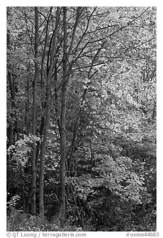 Northern trees with dark trunks in fall foliage. Allagash Wilderness Waterway, Maine, USA (black and white)