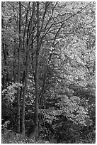 Northern trees with dark trunks in fall foliage. Allagash Wilderness Waterway, Maine, USA ( black and white)