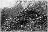 Pile of cut branches. Maine, USA (black and white)