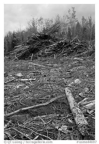 Cut area and twigs in logging area. Maine, USA (black and white)