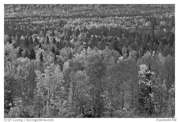Septentrional woods in autumn. Maine, USA (black and white)