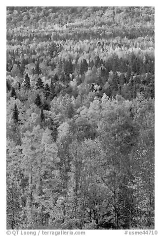 Septentrional forest in the fall. Maine, USA (black and white)