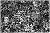 Close up of ground with pine needles, leaves, and moss. Katahdin Woods and Waters National Monument, Maine, USA ( black and white)