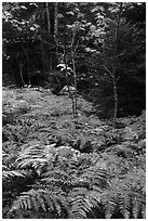 Ferns, maples, and spruce in autumn. Katahdin Woods and Waters National Monument, Maine, USA ( black and white)