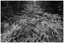 Ferns in autumn, Esker Trail. Katahdin Woods and Waters National Monument, Maine, USA ( black and white)