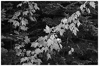 Orange mapple leaves and spruce. Katahdin Woods and Waters National Monument, Maine, USA ( black and white)
