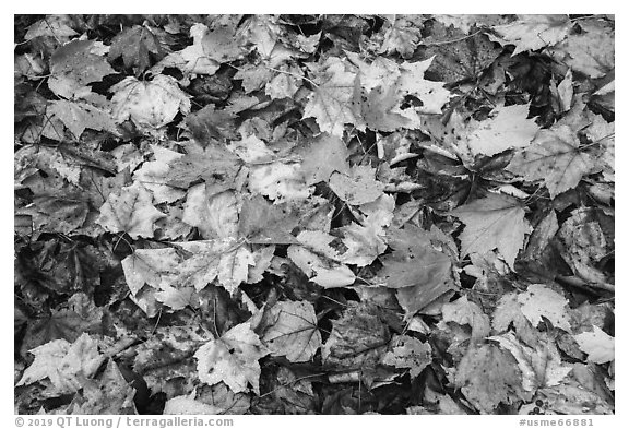Tapestry of colorful fallen leaves. Katahdin Woods and Waters National Monument, Maine, USA (black and white)