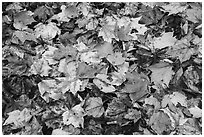 Tapestry of colorful fallen leaves. Katahdin Woods and Waters National Monument, Maine, USA ( black and white)