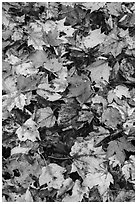 Dense fallen leaves on ground. Katahdin Woods and Waters National Monument, Maine, USA ( black and white)